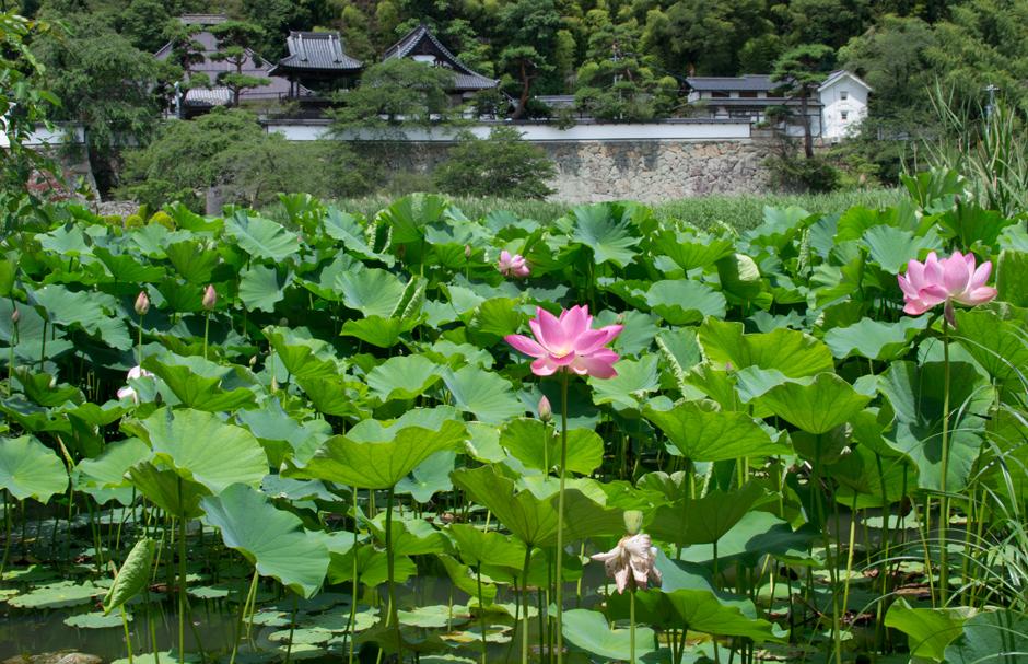 大雲寺前蓮の花