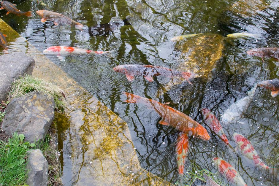 懐古園の鯉